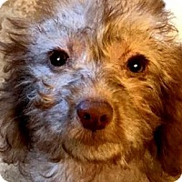 Adopt A Pet :: ANNABELLE(GOLDENDOODLE PUPPY! - Wakefield, RI
