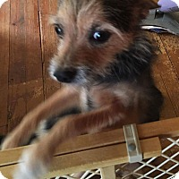 Yorkie, Yorkshire Terrier/Terrier (Unknown Type, Small) Mix Dog for adoption in Pikesville, Maryland - Roxanne