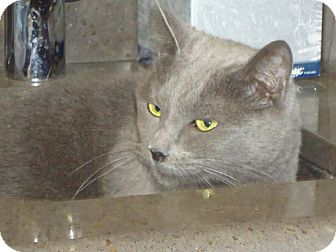 Domestic Shorthair Cat for adoption in Laguna Woods, California - Misty