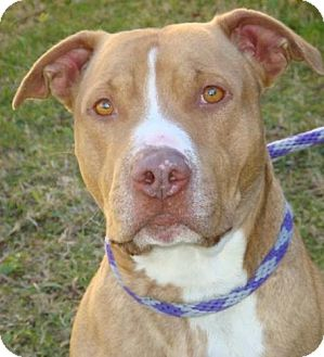 American Pit Bull Terrier Mix Dog for adoption in Red Bluff, California - Brocklin-$45 adoption fee
