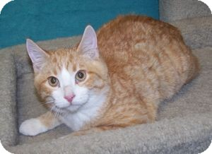 Domestic Shorthair Kitten for adoption in Colorado Springs, Colorado - K-Eva2-Art