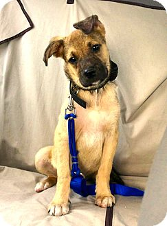 German Shepherd Dog/Terrier (Unknown Type, Medium) Mix Puppy for adoption in Miami, Florida - Duke
