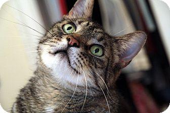 British Shorthair Cat for adoption in St. Louis, Missouri - Boris