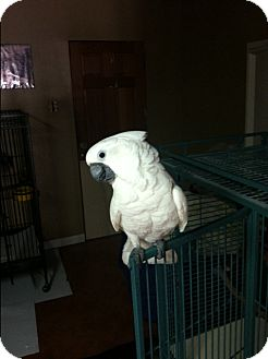 Cockatoo for adoption in Sylmar, California - Dana
