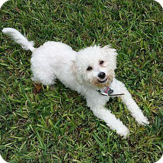 Poodle (Miniature) Mix Dog for adoption in New York, New York - Sebastian