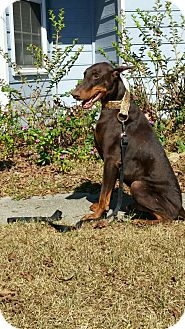 Doberman Pinscher Dog for adoption in Lloyd, Florida - ACE