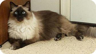 Siamese Cat for adoption in Scottsdale, Arizona - GABBY