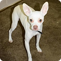 Chihuahua Mix Dog for adoption in Fairmont, West Virginia - Taco