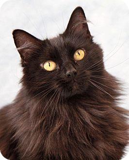 Domestic Longhair Cat for adoption in Encinitas, California - Luna