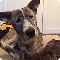 Adopt A Pet :: Katie - Ocean Ridge, FL