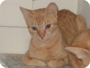 Domestic Shorthair Kitten for adoption in bloomfield, New Jersey - Primrose