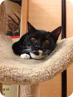 Domestic Shorthair Kitten for adoption in Monroe, Georgia - Tucker