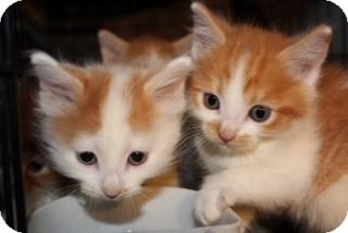 Maine Coon Kitten for adoption in Santa Monica, California - Scarlett