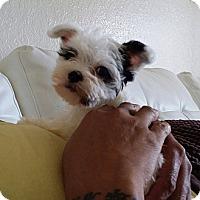 Adopt A Pet :: Maybeline - Miami, FL