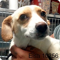 Adopt A Pet :: Elsa - Greencastle, NC