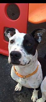 Labrador Retriever/American Pit Bull Terrier Mix Dog for adoption in Long Beach, California - Dottie