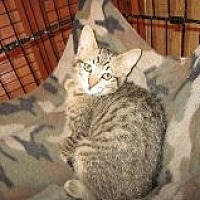 Domestic Shorthair Kitten for adoption in Delmont, Pennsylvania - Softie