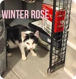 Domestic Shorthair Cat for adoption in Glendale, Arizona - WINTER ROSE