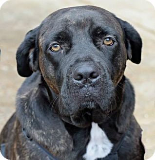 Cane Corso/Mastiff Mix Dog for adoption in Memphis, Tennessee - Gracie Lynne