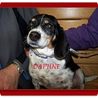 Adopt A Pet :: DAPHNE - Ventnor City, NJ