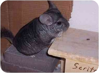 Chinchilla for adoption in Avondale, Louisiana - Joey