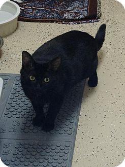 Domestic Shorthair Cat for adoption in Pekin, Illinois - Mac