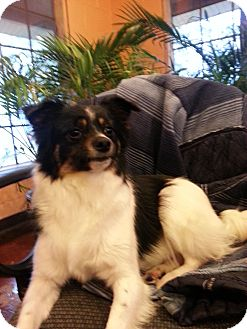 Papillon/Terrier (Unknown Type, Small) Mix Dog for adoption in Harrisonburg, Virginia - PePe'