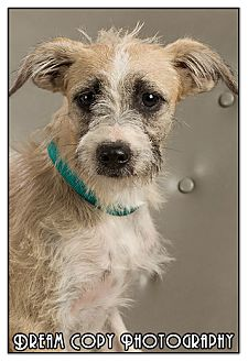 Jack Russell Terrier Mix Puppy for adoption in Owensboro, Kentucky - Dopey