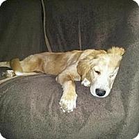 Adopt A Pet :: Shelby - Foster, RI