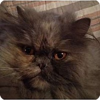 Adopt A Pet :: Gidget (Front Paw De-clawed) - Beverly Hills, CA