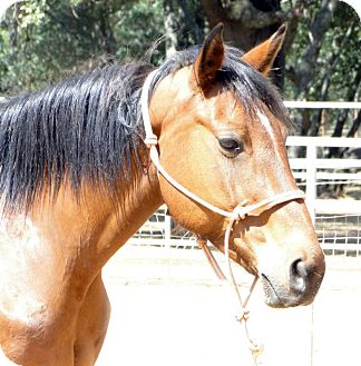 Quarterhorse Mix for adoption in El Dorado Hills, California - Kona