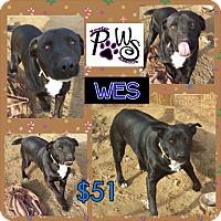 Adopt A Pet :: Wes - Fowler, CA