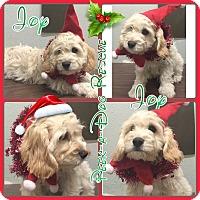 Adopt A Pet :: Joy - South Gate, CA