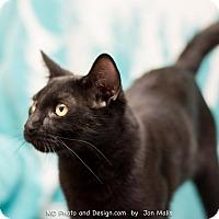 Adopt A Pet :: Kringle - Fountain Hills, AZ