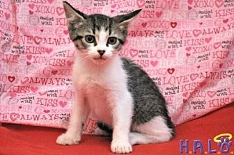 Domestic Shorthair Cat for adoption in Sebastian, Florida - Fern