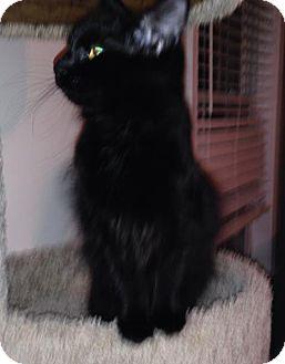 Domestic Longhair Kitten for adoption in Savannah, Georgia - Carrie