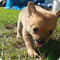 Adopt A Pet :: Rum - Brattleboro, VT