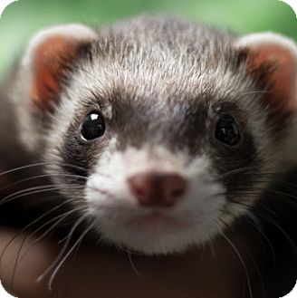 Ferret for adoption in Balch Springs, Texas - Banjo