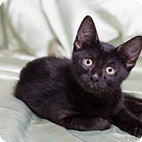 Adopt A Pet :: Espresso - Lombard, IL
