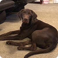 Adopt A Pet :: Dola - Las Vegas, NV
