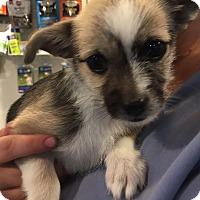 Adopt A Pet :: Penelope MEET ME - Westport, CT