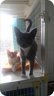 Domestic Shorthair Cat for adoption in Shelby, North Carolina - Mulan