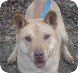 Shar Pei Mix Dog for adoption in Kingwood, Texas - Sheba