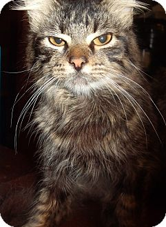 Domestic Longhair Cat for adoption in Porter, Texas - Tig