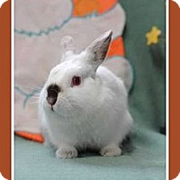 Netherland Dwarf Mix for adoption in Williston, Florida - Tootie