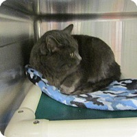 Domestic Shorthair Cat for adoption in Grand Junction, Colorado - Eric