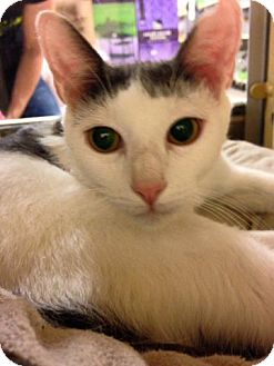 Domestic Shorthair Cat for adoption in Voorhees, New Jersey - Mia - PetSmart