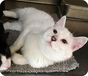 Siamese Kitten for adoption in Oakdale, California - Whisper