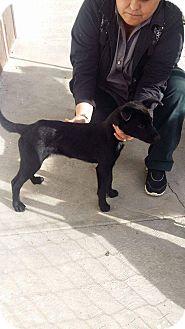 Labrador Retriever/German Shepherd Dog Mix Puppy for adoption in LAKEWOOD, California - Kasier