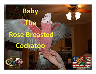 "Cockatoo for adoption in Vancouver, Washington - ""Baby"" The Gala / Rose Breaste"